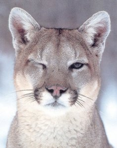 Winking Cougar